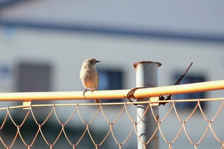 2016.01.25 和泉川 工事フェンスにジョウビタキ