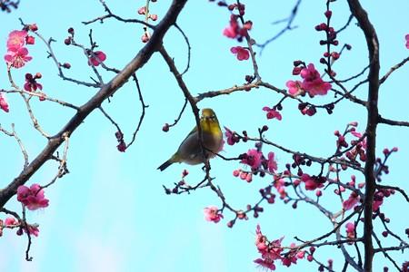 2016.02.05 和泉川 紅梅にメジロ 「何か用」