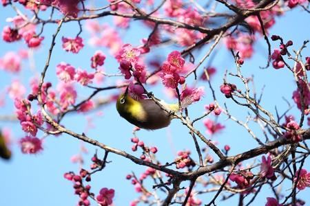 2016.02.05 和泉川 紅梅へメジロ 顔出し