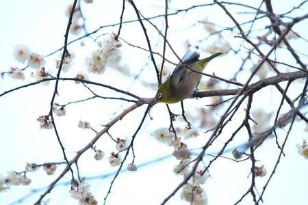 2016.02.05 和泉川 梅へメジロ