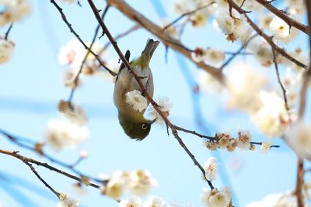 2016.02.09 和泉川 メジロ 吸蜜