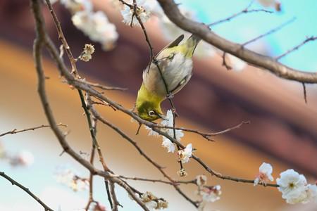 2016.02.09 和泉川 梅へメジロ 軒下