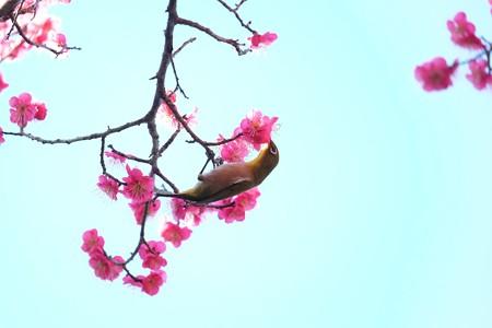 2016.02.13 和泉川 紅梅へメジロ 吸蜜