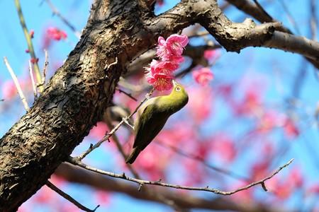 2016.02.13 和泉川 紅梅へメジロ 春
