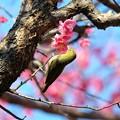 Photos: 2016.02.13 和泉川 紅梅へメジロ 春