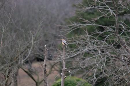 2016.02.15 追分市民の森 枯木にモズ