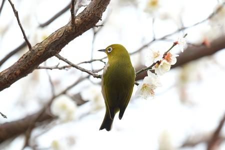 2016.02.23 和泉川 メジロ