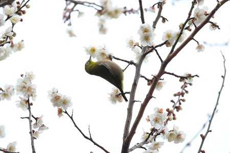 2016.02.23 和泉川 梅へメジロ