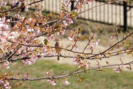 2016.03.03 和泉川 河津桜にモズ