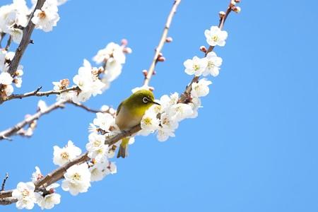 2016.03.03 和泉川 梅へメジロ
