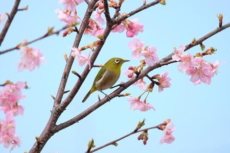 2016.03.05 和泉川 メジロ