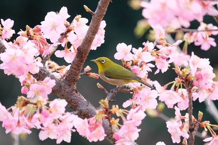 2016.03.05 和泉川 河津桜にメジロ