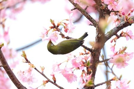 2016.03.05 和泉川 河津桜へメジロ 吸蜜