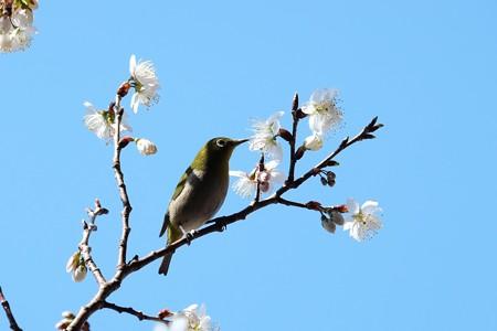 2016.03.06 和泉川 桜にメジロ