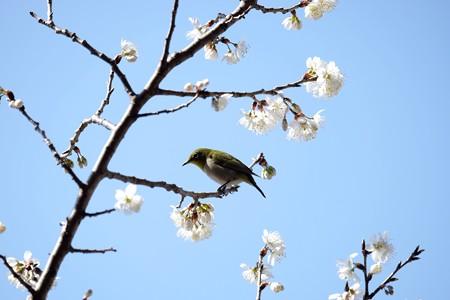 2016.03.06 和泉川 早咲きの桜にメジロ