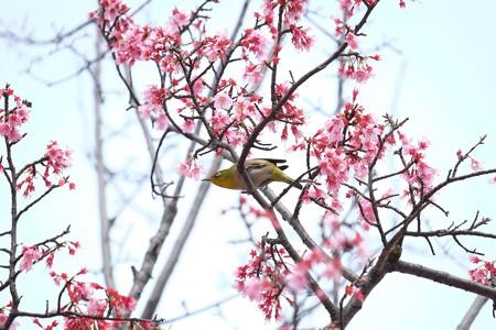 2016.03.16 和泉川 おかめ桜とメジロ