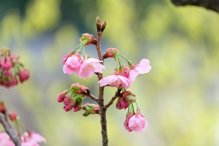 2016.03.20 和泉川 早咲きの桜