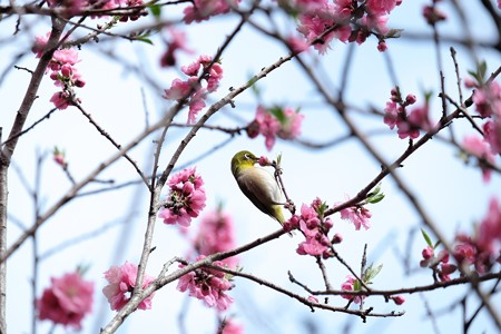 2016.03.22 追分市民の森 花桃でメジロ 吸蜜