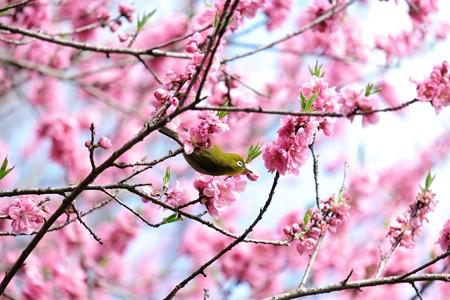2016.03.22 追分市民の森 花桃にメジロ