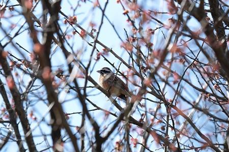 2016.03.25 追分市民の森 梅でホオジロ