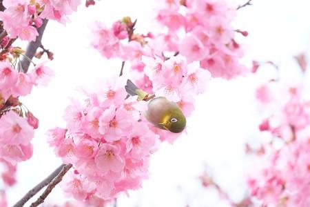 2016.03.26 和泉川 桜にメジロ どっちの蜜