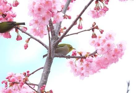 2016.03.26 和泉川 桜へメジロ 曇り空