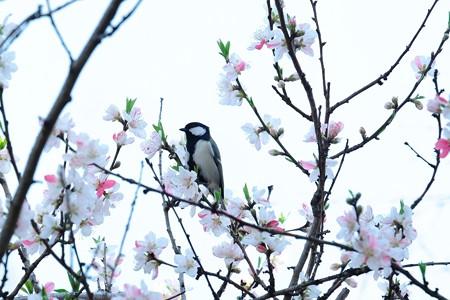 2016.03.31 和泉川 桃にシジュウカラ