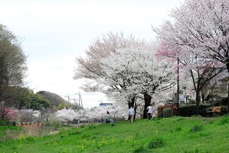 2016.04.04 和泉川 サクラサク