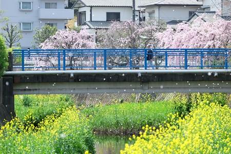 2016.04.09 和泉川 桜吹雪く