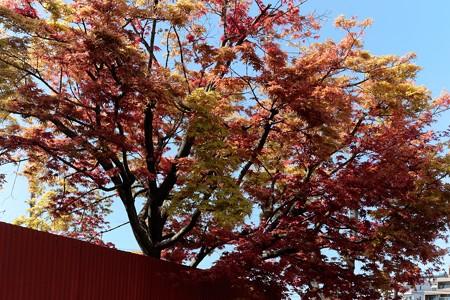 2016.04.15 希望ヶ丘 モミジ