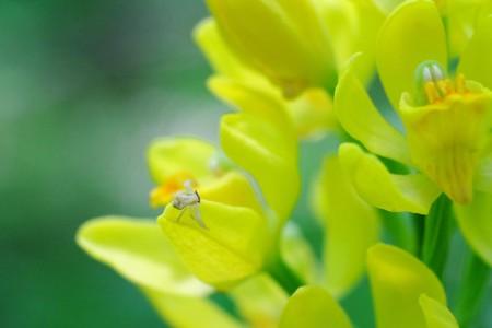 2016.05.13 瀬谷市民の森 金蘭にアズチグモ
