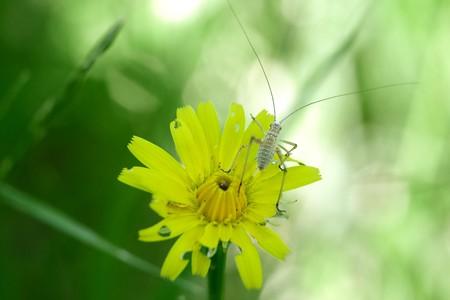 2016.05.13 追分市民の森 夏草にアシグロツユムシ