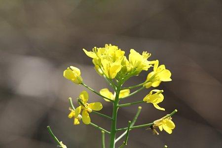 2009.11.07 和泉川 菜の花