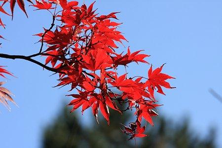 2009.11.15 大池公園 紅葉