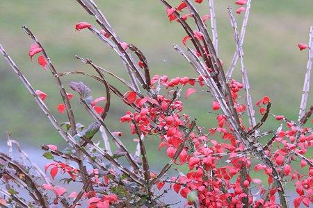 2009.11.23 和泉川 赤い葉