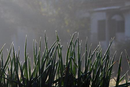 2009.12.06 和泉川 葱畑