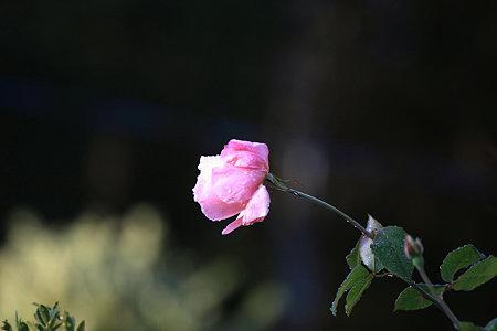 2009.12.06 和泉川 薔薇