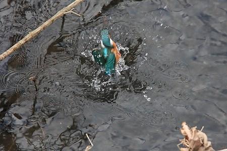 2009.12.29 和泉川 カワセミ 水遊び