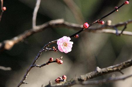 2009.12.31 大池公園 梅