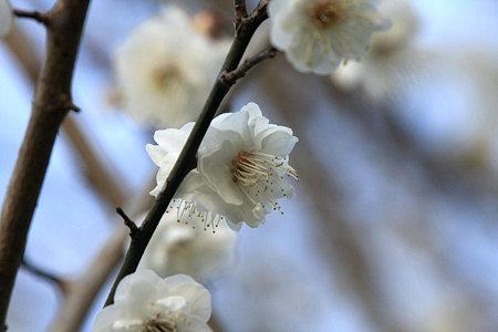 2010.01.23 和泉川 梅