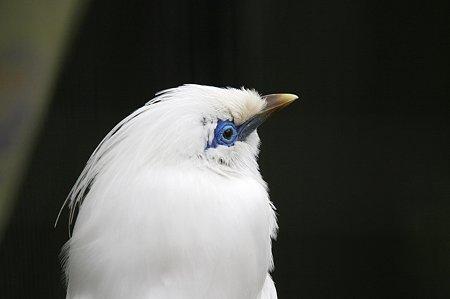 2010.02.19 ズーラシア カンムリシロムク