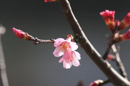 2010.03.03 和泉川 桜