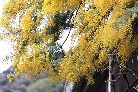 2010.03.05 鎌倉 八幡宮 フサアカシア