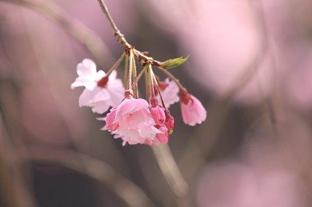 2011.04.14 和泉川 枝垂れ八重桜