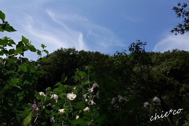 青空と・・木槿(むくげ)・・