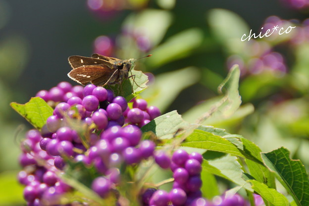 小紫と・・せせり蝶・・