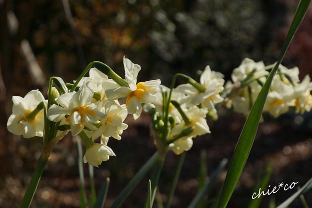 八重咲きの水仙。。
