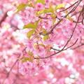 写真: 三浦海岸~河津桜~-156