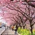 写真: 三浦海岸~河津桜~-160