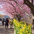 写真: 三浦海岸~河津桜~-162